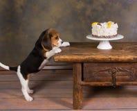 与蛋糕的小狗 免版税库存图片