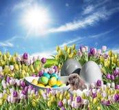 与蛋装饰五颜六色的郁金香领域的兔宝宝在草原蓝色晴朗的天空招呼的愉快的东部textspace 库存照片