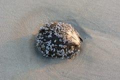 与蛤蜊的干椰子在沙子海滩有蓝色海和天空背景 图库摄影