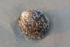 与蛤蜊的干椰子在沙子海滩有蓝色海和天空背景 免版税库存图片