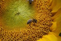 与蜂和蝴蝶的向日葵 库存照片
