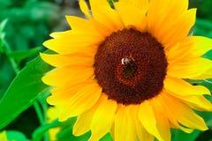 与蜂或土蜂的向日葵在夏天 库存图片