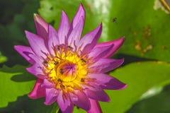 与蜂有刺的动物的紫色莲花被围拢了 免版税库存图片