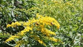 与蜂的加拿大菊科植物 股票视频