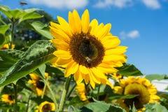 与蜂的向日葵与蓝天 免版税库存照片