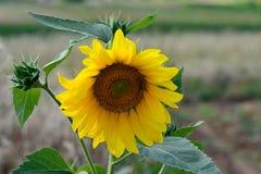 与蜂的向日葵在授粉 免版税图库摄影