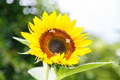 与蜂的向日葵对此 免版税库存图片