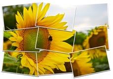 与蜂的向日葵特写镜头在中心 免版税库存图片