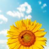 与蜂的向日葵特写镜头在领域 库存图片