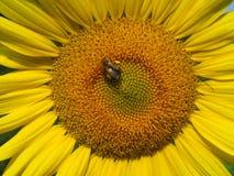 与蜂的向日葵特写镜头 免版税图库摄影
