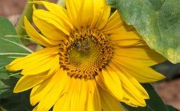 与蜂的向日葵, 免版税库存图片