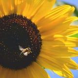 与蜂的向日葵 背景自然夏天 免版税库存图片