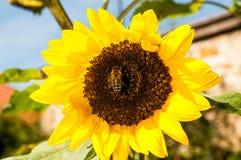 与蜂的向日葵 免版税图库摄影