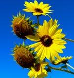 与蜂的向日葵 免版税库存图片
