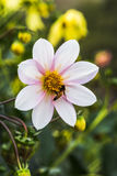 与蜂的大丽花 免版税库存图片