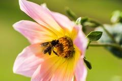 与蜂的大丽花 库存照片