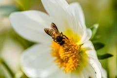与蜂的大丽花 免版税库存照片