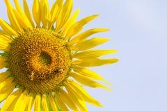 与蜂的太阳花在早晨光下 免版税库存图片