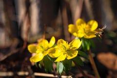 与蜂的开花的冬天花 库存图片