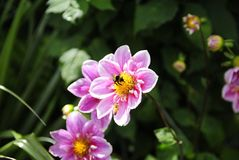 与蜂的桃红色花 免版税库存照片