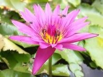 与蜂的桃红色莲花 免版税库存照片