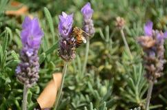 与蜂的淡紫色花 库存照片