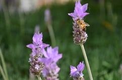 与蜂的淡紫色花 库存图片