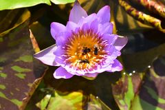 与蜂的紫罗兰色和黄色莲属Nucifera莲花在水池 免版税图库摄影