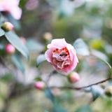 与蜂的美丽的小桃红色玫瑰 免版税库存图片