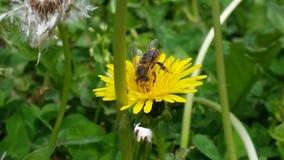 与蜂的美丽的黄色花 库存照片