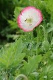 与蜂的花,泰国的北部 免版税库存照片