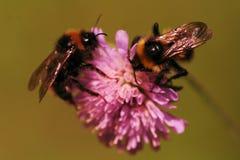与蜂的花 免版税库存照片