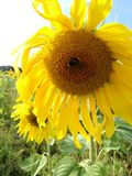 与蜂的花 库存照片