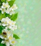 与蜂的茉莉花花 免版税库存图片