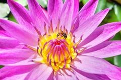 与蜂的荷花 免版税图库摄影
