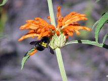 与蜂的野生dagga Leonotis益母草属 库存图片