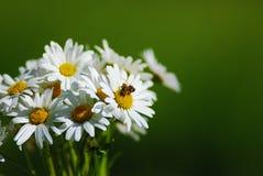 与蜂的雏菊 免版税库存照片