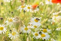 与蜂的雏菊 图库摄影