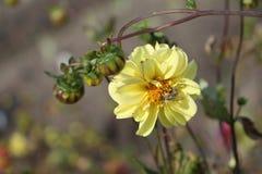 与蜂的黄色大丽花 库存图片
