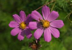 与蜂的紫色波斯菊花 图库摄影