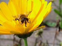 与蜂的黄色花 免版税图库摄影