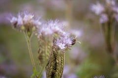 与蜂的紫色花 免版税库存图片