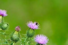 与蜂的紫色蓟花 免版税库存照片