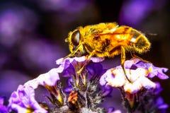 与蜂的Myathropa弗洛雷亚花 免版税库存图片