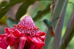 与蜂鸟的一朵Helaconia花。 免版税库存照片