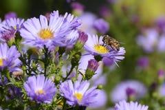 与蜂,捷克共和国,欧洲的紫罗兰色花翠菊Alpinus 库存照片