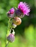 与蜗牛壳的美丽的蓟 免版税库存图片