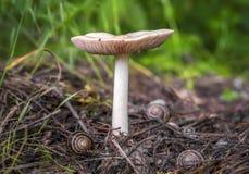 与蜗牛的白色大蘑菇 库存照片