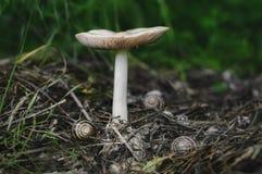 与蜗牛的白色大蘑菇 库存图片