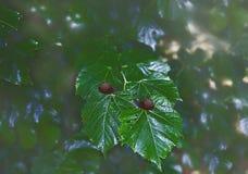 与蜗牛的绿色叶子菩提树 免版税库存图片
